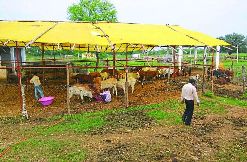 बेमेतरा में 10 दिन में हुई 11 गायों की मौत, गौशाला संचालक पर होगी एफआईआर