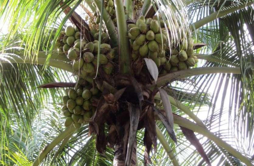 जिस नारियल को दुनिया ने बताया जहर, माेदी सरकार ने उससे चार साल में ही कर लिया अरबों रुपये की कमार्इ