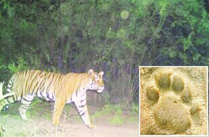 आबादी क्षेत्र में बाघ ने किया शिकार, गांव के आस-पास रहता है आए दिन बाघ का मूवमेन्ट