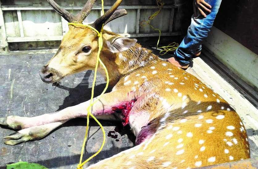नर चीतल पर आधा दर्जन आवारा कुत्तों का हमला, ग्रामीणों ने ऐसे बचाई जान