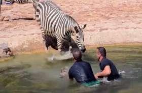 जन्म के कुछ देर बाद ही पानी में डूबने लगा जेब्रा का बच्चा, जान पर खेलकर इन लोगों ने बचाई जान