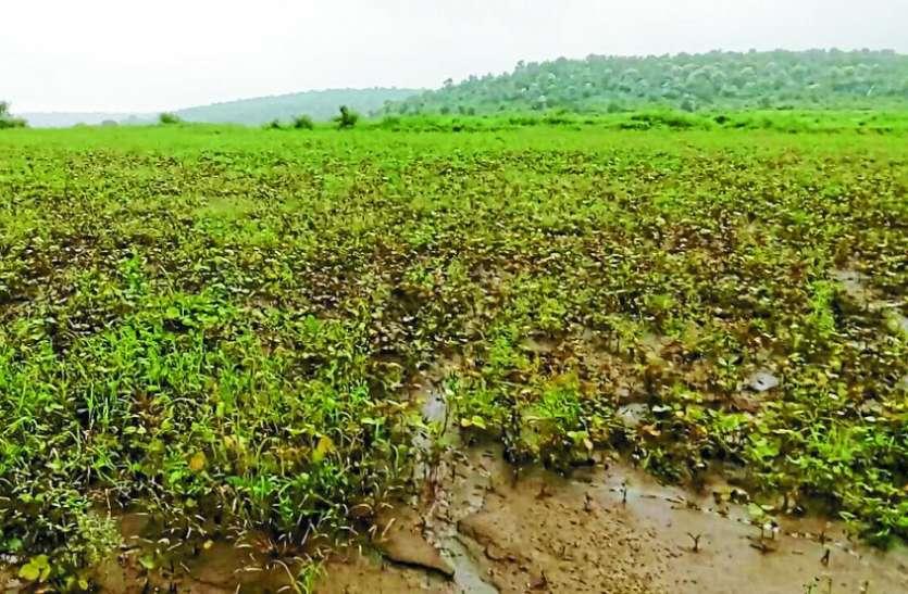 बारिश से किसानों के माथे पर चिंता की लकीरें, मूंग-उड़द को सबसे ज्यादा हो रहा नुकसान