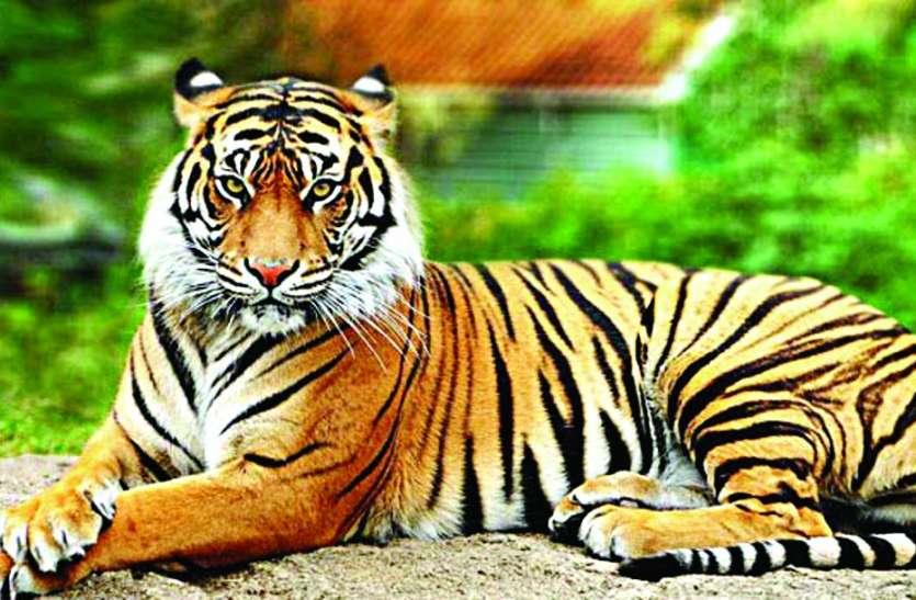 पन्ना टाइगर रिजर्व और रानीपुर अभयारण्य के बीच बनेगा एक नया कॉरिडोर, MP-UP की सीमा में स्वच्छंद घूमेंगे वनराज