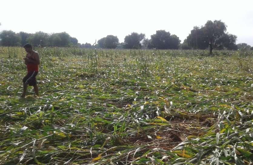 जिले में बारिश की झड़ी, खड़ी फसल पर भारी पड़ी