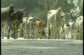अन्नदाताओं के लिए मुसीबत बन गए हैं अन्ना पशु