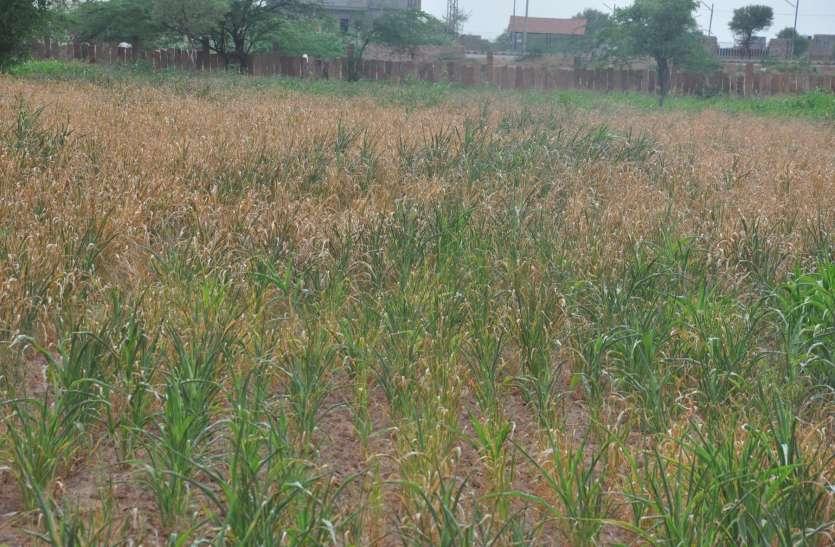 भाद्रपद आधा बीता, औसत से कम बारिश, खरीफ का उत्पादन होगा प्रभावित
