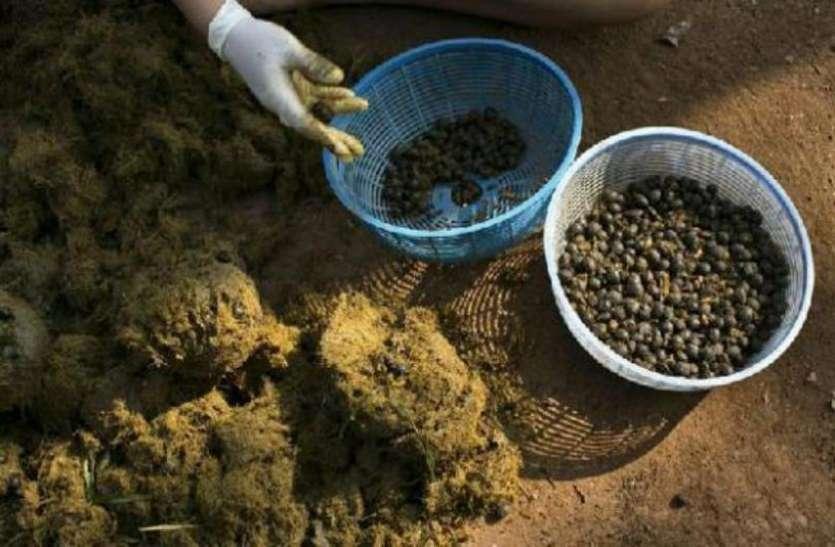 हाथी के गोबर से बनाई जाती है ये कॉफी, कीमत सुनकर रह जाएंगे हैरान
