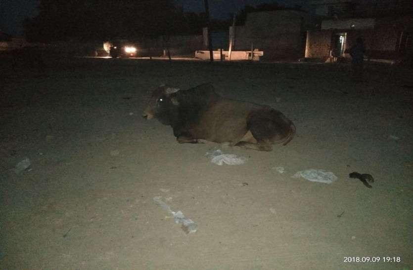दस गोवंश की मौत, ग्रामीण बोले मुख्यमंत्री के स्वागत समारोह के भोज की जूठन खाकर बीमार हुए पशु