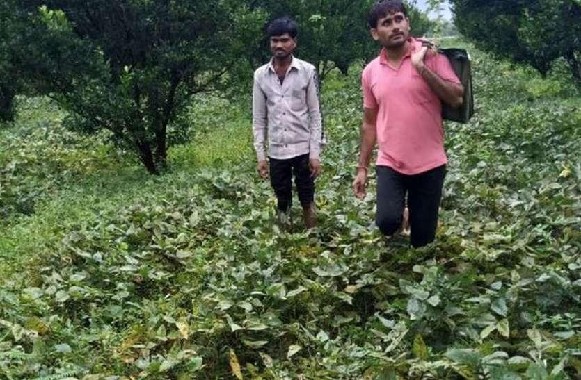 उड़द की अंकुरित फलियों ने बढ़ाई किसानों की चिंता