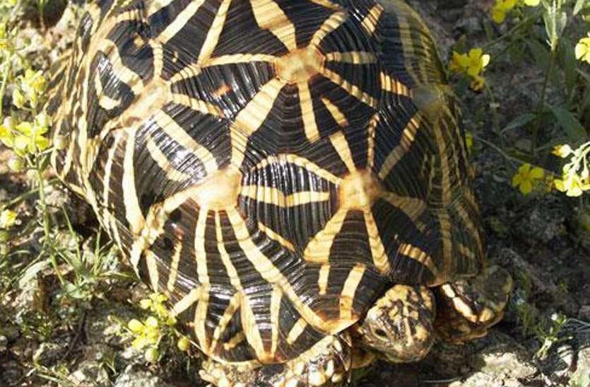 ढाणी में दबिश देकर दुर्लभ प्रजाति का कछुआ कराया मुक्त