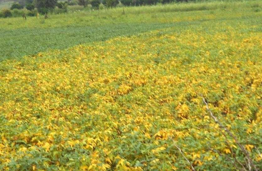 लगातार बारिश व खेतों में भरे पानी से पीली पड़ी फ सलें