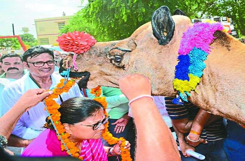 ऊंट ने पहनाई CM राजे को माला देखते रह गए सारे मंत्री और फिर...