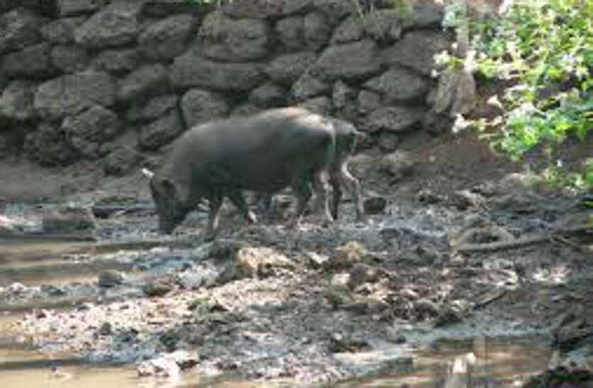 सुअरों के आगे बेबस हो गई निगम की टीम, हुआ कुछ ऐसा कि कमिश्नर के आदेश से पड़ गया छोडऩा