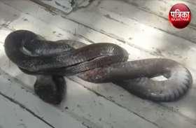 इंसान को डसने के बाद कोबरा सांप की हुई मौत, देखे वीडियो