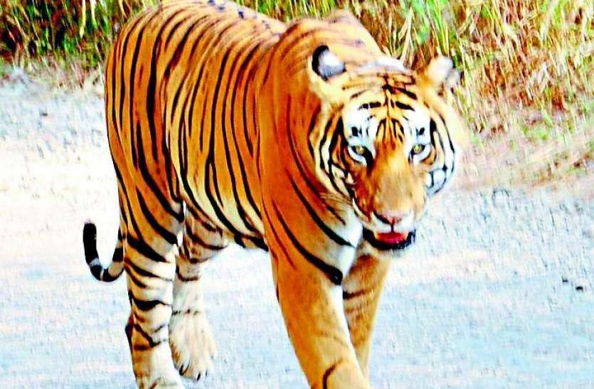 सरिस्का में बाघिन के शिकार को लेकर जल्द होगा सबसे बड़ा खुलासा, देहरादून में तैयार हुई डीएनए रिपोर्ट