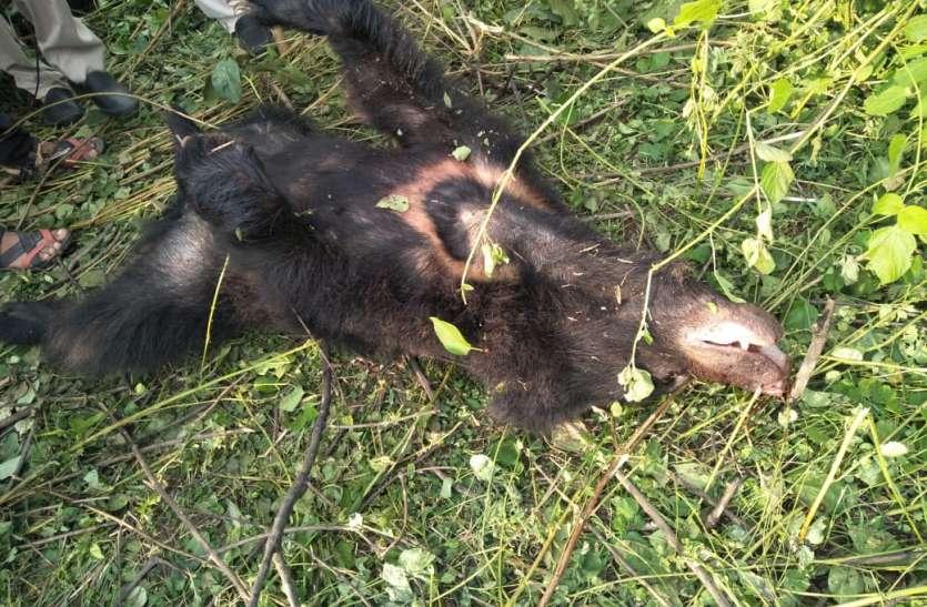 भालू के हमले में चरवाहे की मौत, चरवाहे को बचाने में तीन अन्य हुए घायल