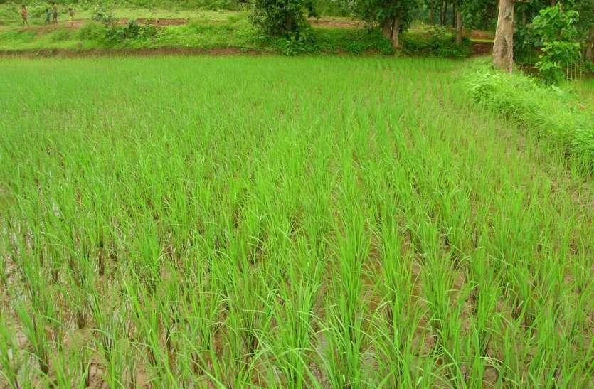 मानसून कमजोर, थमी बारिश, खेती के लिए बना उपयुक्त माहौल