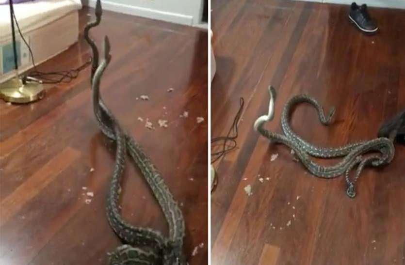 जब सांप के लिए घर के अंदर हुआ दो अजगरों का दंगल, वायरल हो रहा वीडियो