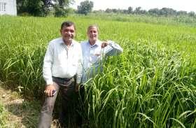 भदोही में पहली बार काले चावल की खेती, डायबिटीज के मरीजों के लिए है रामबाण