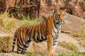बांधवगढ़ से गई आदमखोर सुंदरी की ओडिशा से हो सकती है विदाई, जल्द जाएगी बांधवगढ़ की टीम