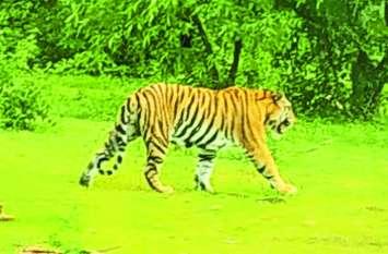 पन्ना टाइगर रिजर्व के बाघ की इस जंगल में मिली लोकेशन, ग्रामीण भूलकर भी ना करें प्रवेश