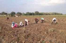 फसल कटाई शुरू, नुकसानी के सर्वे का ठिकाना नहीं, किसान असमंजस में