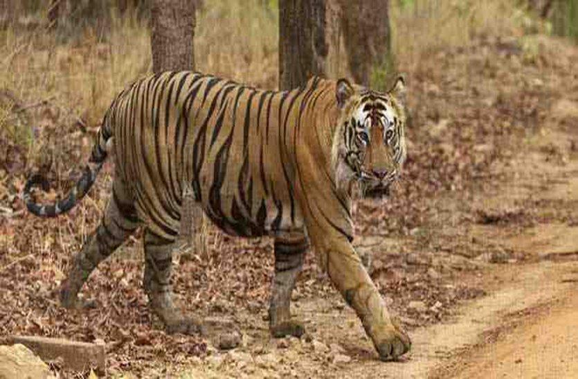 बांधवगढ़ की सुंदरी बाघिन ने किया महिला का शिकार, ओडिशा सरकार मप्र को लौटाएगी