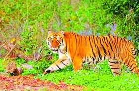 किशनगढ़ के जंगल में ट्रैप हुआ पन्ना टाइगर रिजर्व का बाघ, बफर जोन में और घूम रहे बाघ