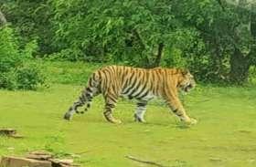 अब शहर से सटे इलाके में बाघ की गूंज रही दहाड़