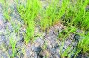 इस जिले के 88 गांवों में अकाल की आहट, 70 फीसदी फसल चौपट, परेशान किसान, खेतों में वीरानी