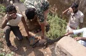 video : यहां  आबादी बस्ती में एकाएक घुसा मगरमच्छ,  ग्रामीणों में मच गया हड़कंप