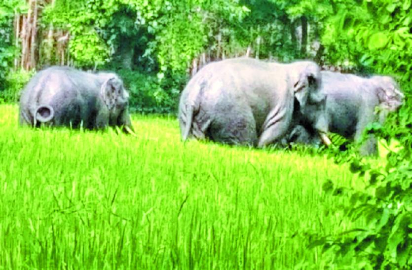 15 दिनों से कई गांवों में जंगली हाथियों की धमक, लोगों की जान आफत में