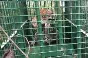 VIDEO इस तरह पकड़ा गया आदमखोर तेंदुआ, वन विभाग कर्मियों के छूटे पसीने