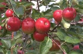 इस साल बाजार में छाएगी कश्मीरी सेब की लाली, बंपर पैदावार से किसान खुश