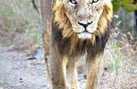 पिछले 15 दिनों में दस एशियाई शेरों की मौत!