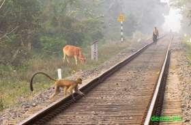 ट्रेनों के सामने जानवरों के आने से उत्तर पश्चिम रेलवे में कुल 607 घटनाएं, 905 ट्रेनें हुई प्रभावित