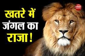 गुजरात के गीर में 10 दिन के अंदर 11 शेरों की मौत, देशभर में मची सनसनी
