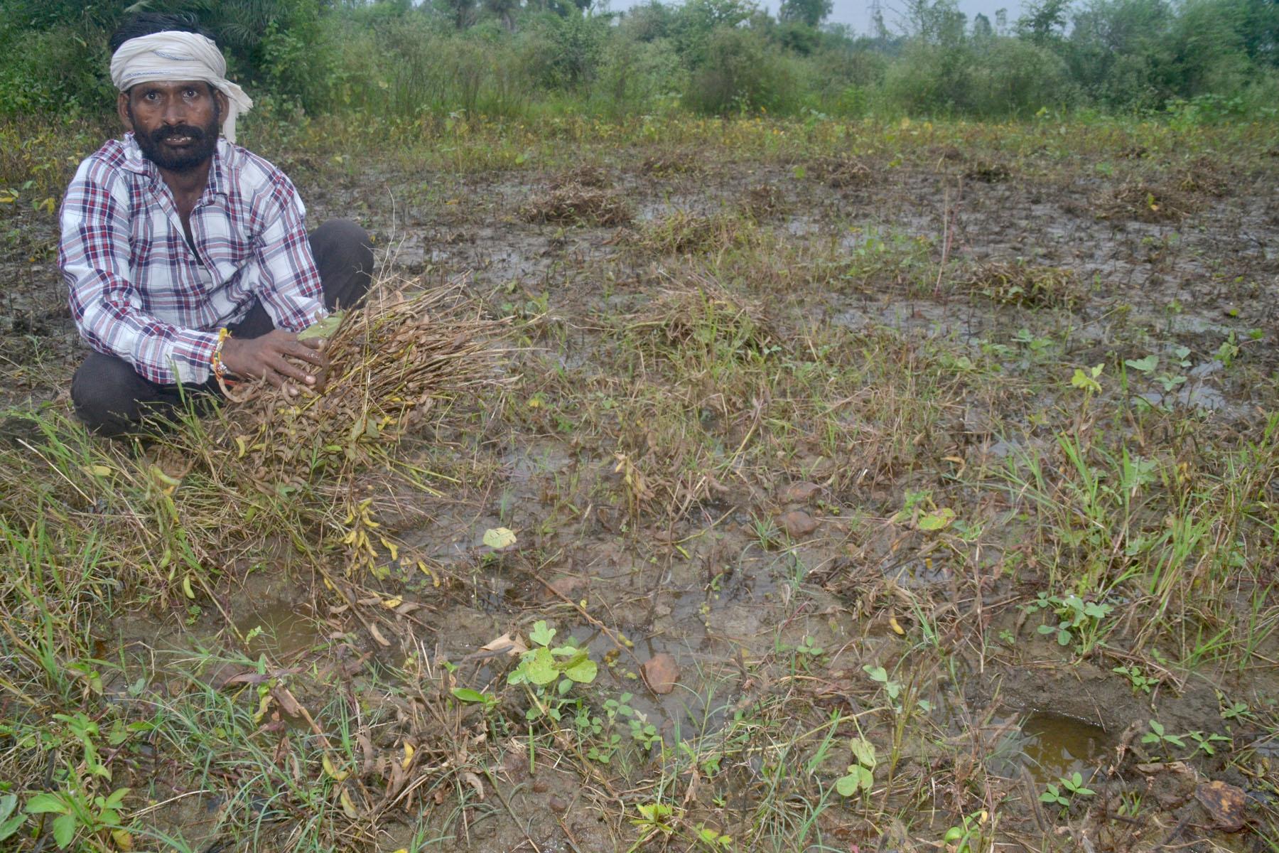 दो दिन से धूप नहीं निकली तो सडऩे लगी फसल मौसम नहीं सुधरा तो होगा 61 करोड़ का नुकसान