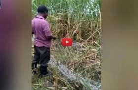 किसान ने समझा कोई चोरी कर रहा है गन्ना, नजदीक जाकर देखा तो उड़ गये होश, देखें वीडियो