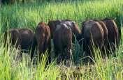 नेपाली हाथियों ने मचाया तांडव, किसानों की फसलें बर्बाद