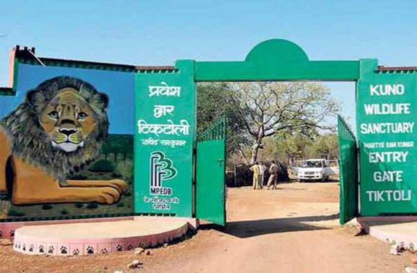 गिर में 15 दिन में 10 एशियाई शेरों की मौत,फिर भी कूनो को शेर देने को तैयार नहीं गुजरात