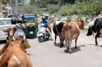 PICs : कृपया वाहन धीरे चलाएं, आगे गौ-माता हैं...