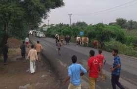 झुंझुुनूं में सीएम राजे के काफिले के सामने इसलिए छोड़े आवारा पशु