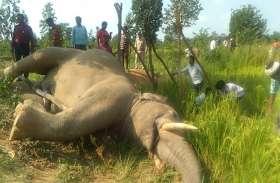 धान के खेत में इस हाल में मिला दंतैल हाथी का शव, मौत की वजह को लेकर उलझे वन अफसर