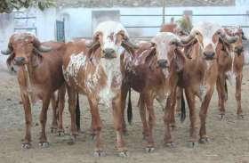 राजस्थान को भा रहा गुजरात की गिर गाय का दूध