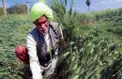 बारिश ने बढ़ाई किसानों की मुसीबत, हुआ 70 प्रतिशत नुकसान