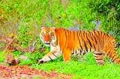 बाघों की दहशत से सहमे पन्ना और दमोह