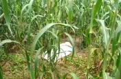 बाजरे के खेत में आठ वर्षीय बालक का शव देख बिलख पड़े परिजन, हत्या की आशंका
