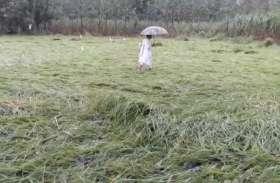 लगातार बरसात से बर्बाद हुई किसान की तैयार फसल, देंखे वीडियाे