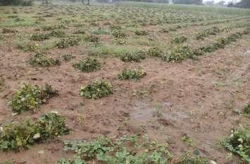 video: किसानों के अरमानों पर फिरा पानी, बरसात से खेतों में कटाई के लिए खड़ी तैयार फसल चौपट होने की कगार पर